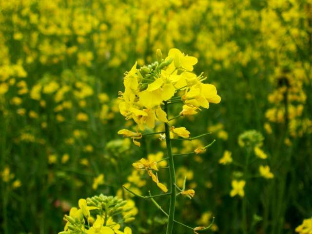 Major Farmer Unions of India Reject GM Mustard: Ask Javadekar Not to Allow GEAC to Proceed with its Secret Meeting to Process GM Mustard Application on February 5th